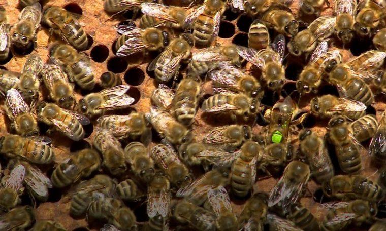 A Bee C: Scientists translate honeybee queen duets