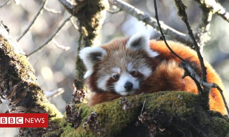 Red pandas tracked by satellite in conservation 'milestone'