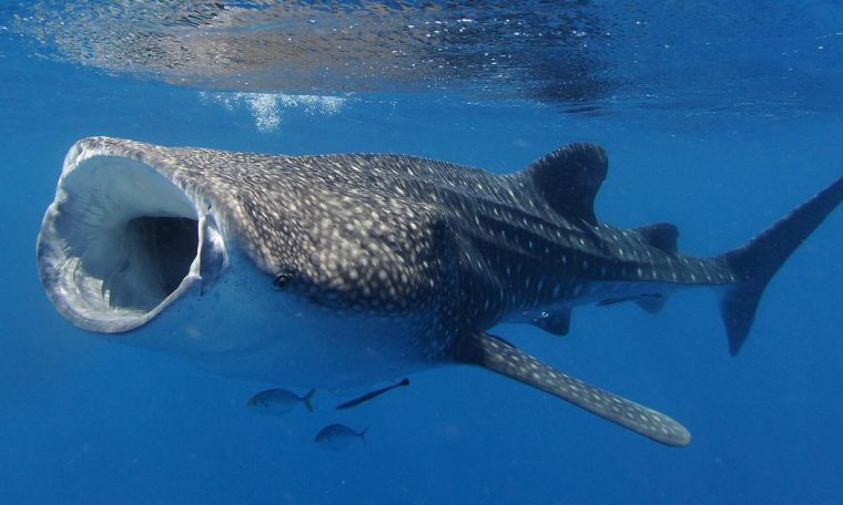 Female whale sharks are officially the largest fish in the ocean