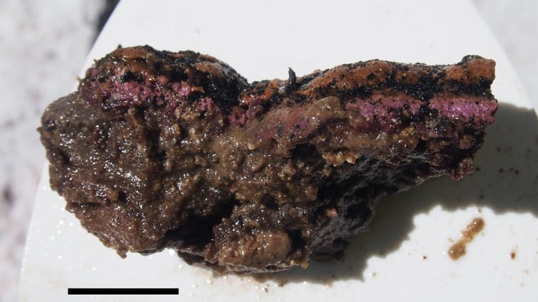 A purple and brown cluster of microbes sitting on a white background.