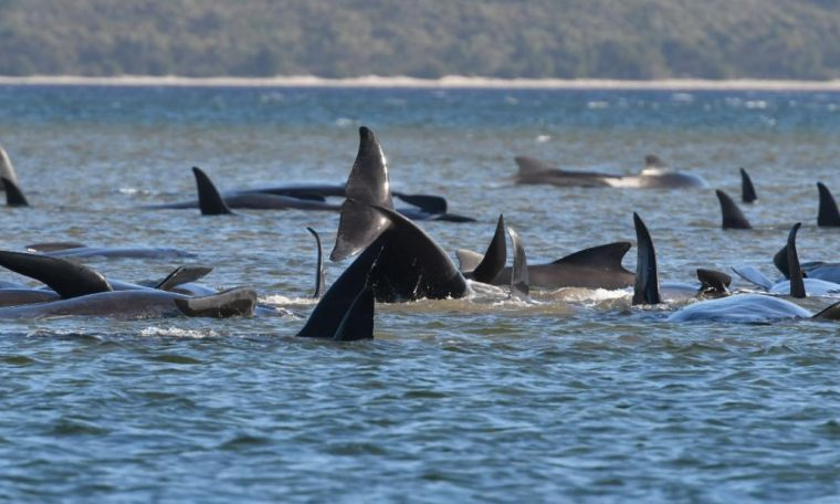 Australian pilot whales: Tasmanian authorities rush to rescue hundreds of stray animals