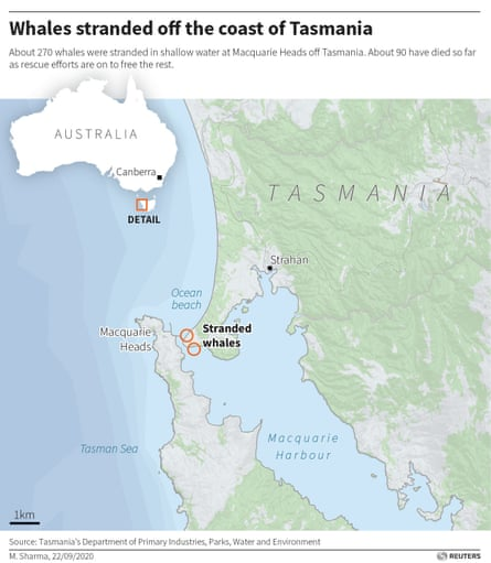 The map provided by Reuters shows the location where 270 vines were trapped.  About 200 more whales were found about 10 kilometers west on Wednesday morning.