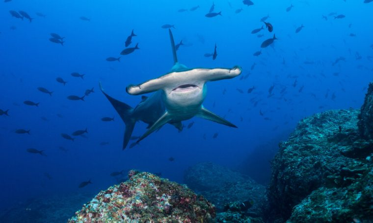 The profession and finances of being a hammerhead shark
