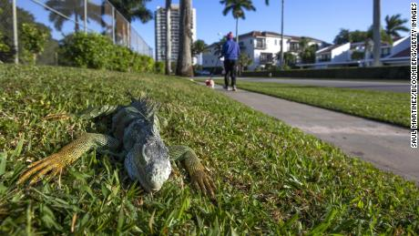 Falling Florida lizards are getting used to the cold winter temperatures