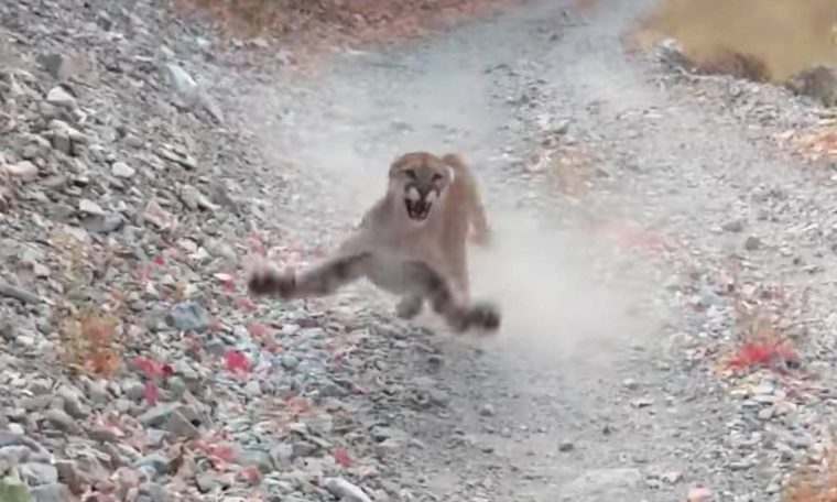 This video of a cougar beating up a man is absolutely horrible - BGR