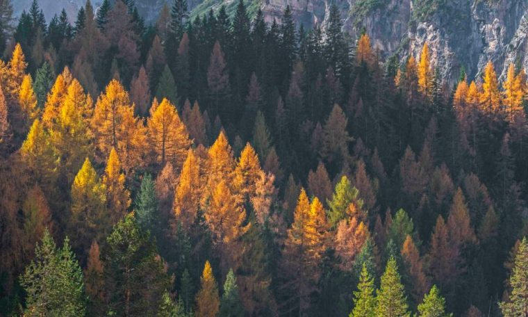 The trees are losing leaves due to climate change