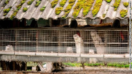Mink appears on a farm in Gijol, northern Denmark, on October 9, 2020.
