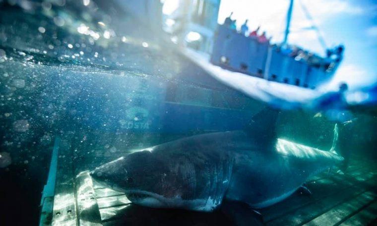 The giant white shark Unamaki looked south of Miami