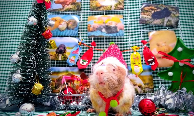 Breeders do Christmas photo shoots with guinea pigs and parrots.  Piawi