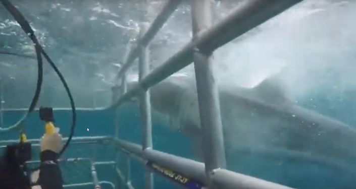 Great white shark bumps against cage with divers in Australia