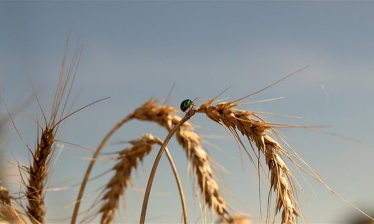 Australia to harvest abundant wheat