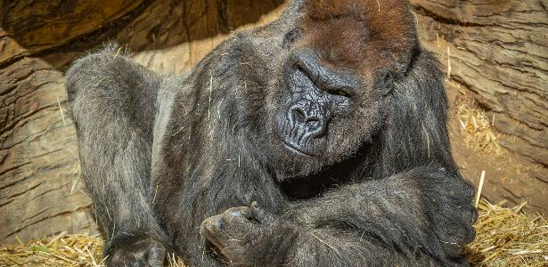 Gorilla treated with synthetic antibodies exceeds Kovid-19
