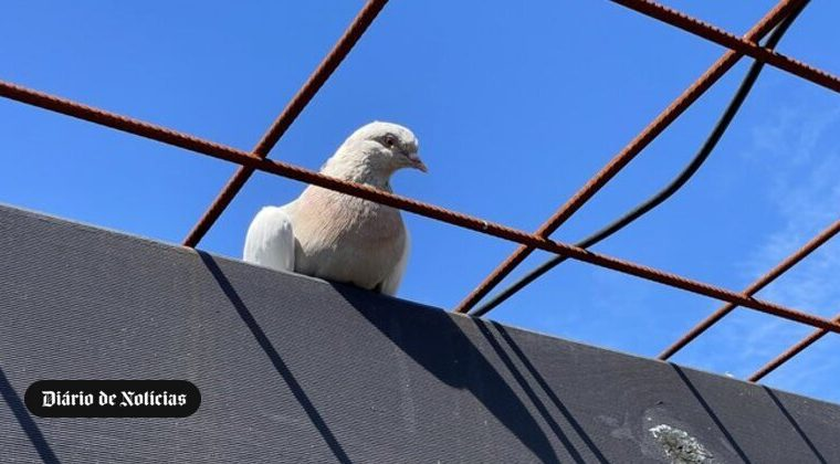 Homing Pigeon moved to Australia from USA, but will be killed for violating quarantine