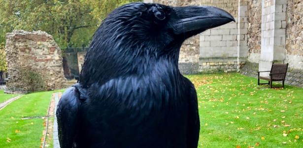 Tower of London announces the disappearance of the famous crow