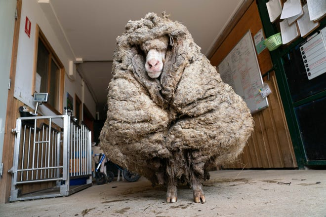 Sheep are found in the forest of Australia, with 35 kg of wool stored in them;  Watch video
