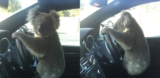 Koala causes accident between cars and 'pose' for photos