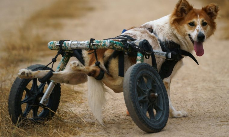 Pandemic in Thailand, disabled dogs threaten to win wheelchairs World