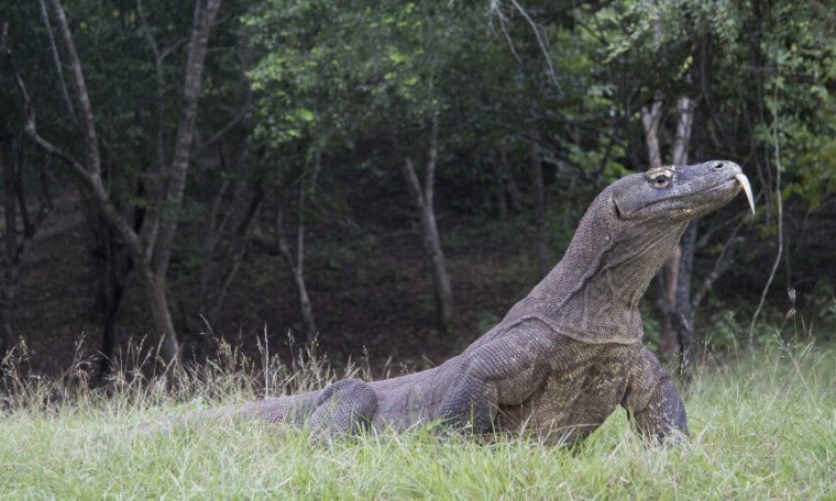 Scientific Wonder: Komodo Dragon Originated in Australia