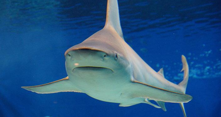 VIDEO montre le sauvetage d'un requin à tête plate capturé en série en Australie