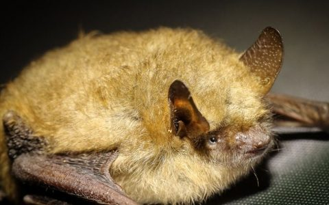 The disease found in Australian bats may kill humans, experts warn