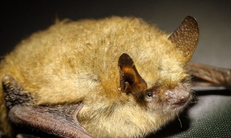 The disease found in Australian bats may kill humans, experts warn
