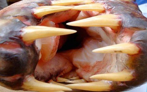 O esturjão é um peixe de água doce que vive no fundo de lagos