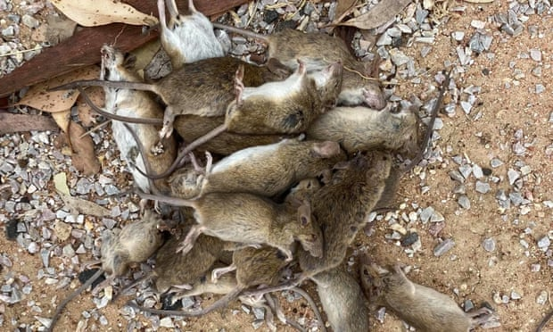 Rats destroy crops, set fire and millionaires leave a trail of damage;  watch videos