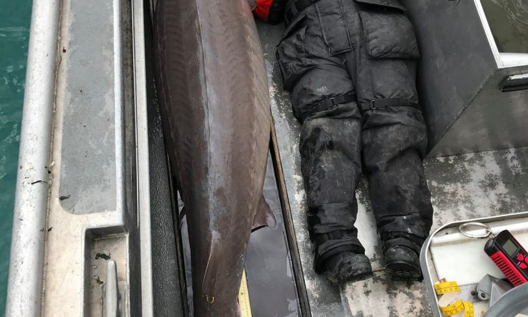 The 109 kg 'River Monster' is in the United States;  The fish can be over 100 years old.  world