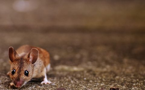 A plague of millions of rats is terrorizing Australia