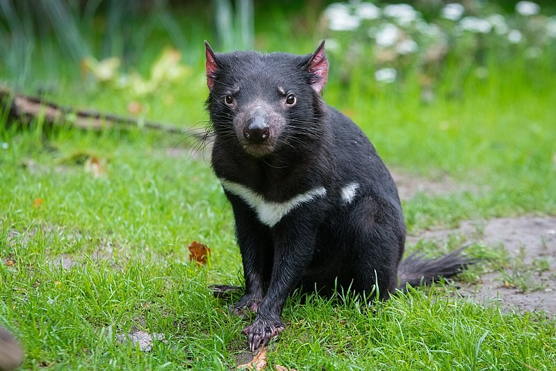 The Tasmanian devil expelled a group of penguins and sparrows from Australia's Maria Island (Photo: Mathias Appel/Wikimedia Commons)