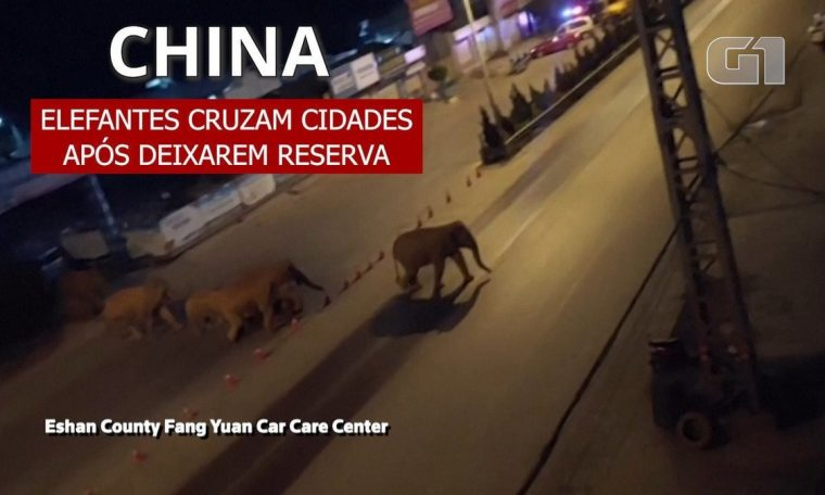 A herd of wild elephants reached a large Chinese city after traveling 500 km;  watch    world