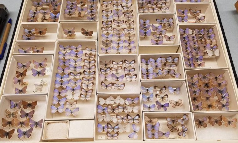 Butterfly Collection in the United States Shows Extinct Species Photo: Field Museum
