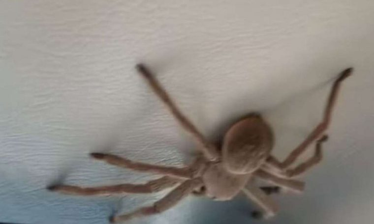 Hunting spider falls on the lap of an airplane pilot during landing in Australia;  see - world