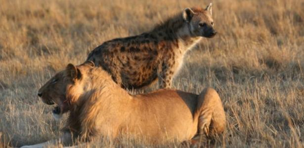 'Mind controller' makes parasitic hyenas carefree of lions
