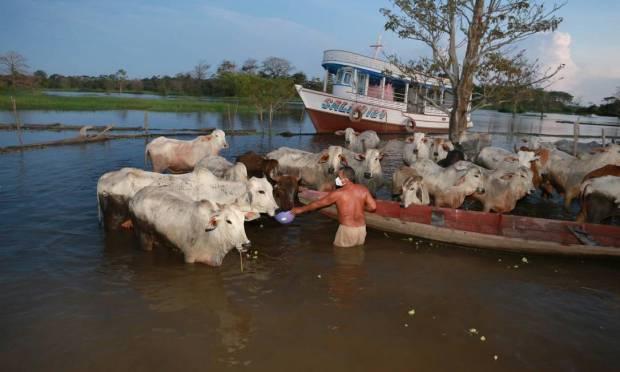 Raimundo Bento Fleri, a farmer in the community, cares for cattle in a flooded pasture in So Sebastio, Manacapur. Photo: Uzivaldo Queiroz / Agnia o Globo
