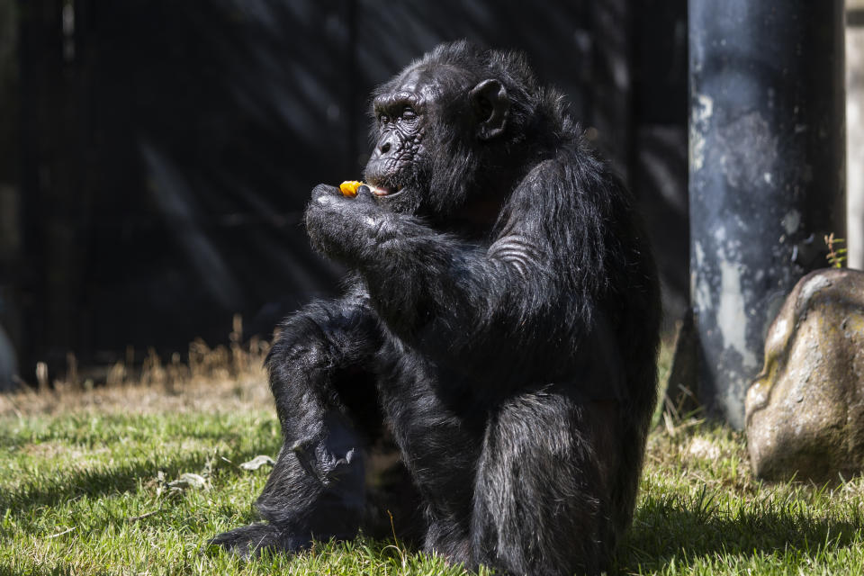 The pita was ignored by other chimpanzees (Alejandro Martínez Velez/Europa Press via Getty Images)