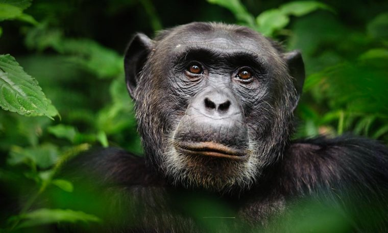 Woman banned from zoo after having affair with chimpanzee for four years