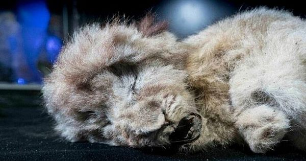 Frozen cave lion cub is 28,000 years old