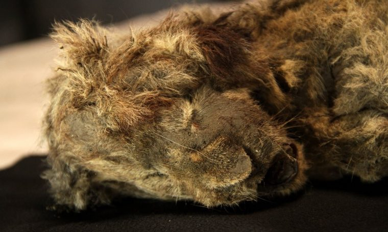 The 28,000-year-old Siberian cave lion mummy is the best-preserved Ice Age animal ever found.  science and health