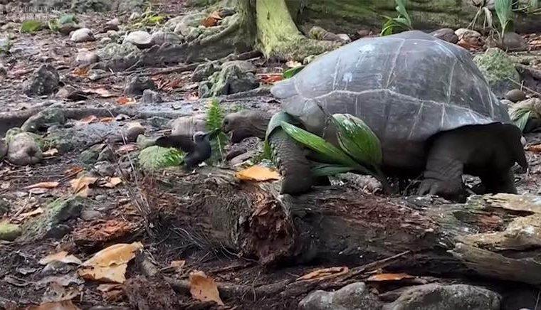 Tartarugas gigantes são os maiores herbívoros nas ilhas de Galápagos e Seychelles