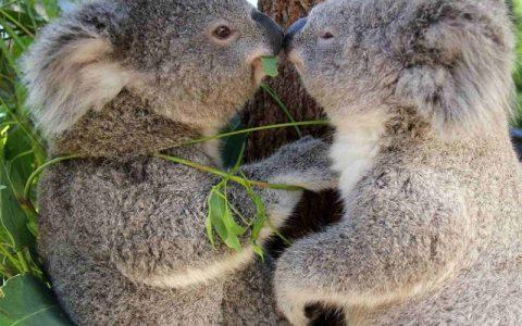 Koala is a symbol of Australia