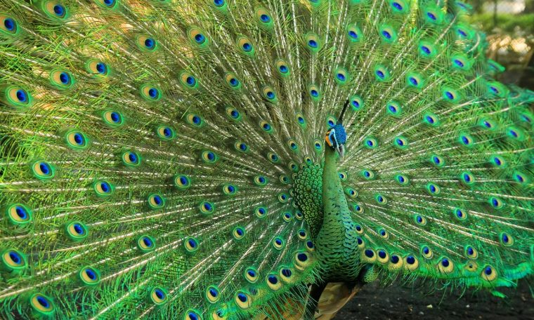 Do you know wild peacock?     people's land