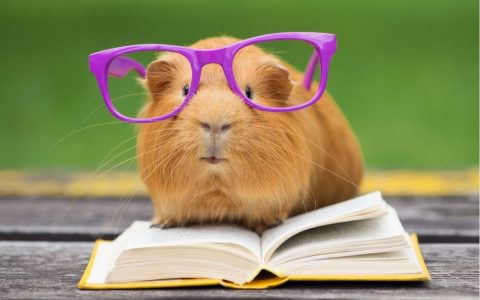 Does Guinea Pig Hibernate?  See 5 Extraordinary Tips and Care