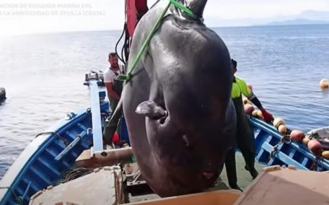 2-ton giant sunfish caught by fishermen and returned to sea