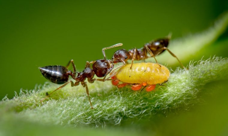 A picture of contest-winning ants will make you think about biology classes: Do you still remember what mutualism is?     Climate