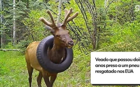 VIDEO: Deer tied in tires for two years saved in America  World